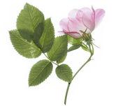 Dog rose isolated — Stock Photo