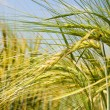 Close-up ot wheat — Stock Photo