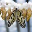 Butterfly and chrysalis - Stock Photo