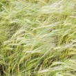 Wheat background — Foto Stock