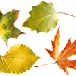Autumn leaves isolated - Photo