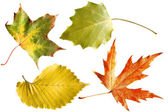 Autumn leaves isolated — Stock Photo