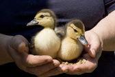 Ducklings in hands — Stock Photo