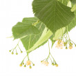 Stock Photo: Alternative medicine: linden flowers (receive treatment for cough)