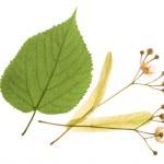 Alternative medicine: linden flowers (receive treatment for cough) — Stock Photo