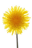 Dandelion on white — Stock Photo