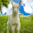 Funny kid goat — Stock Photo
