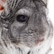 Chinchilla — Stock Photo #4365947