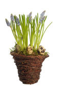 Muscari flower in pot — Stock Photo