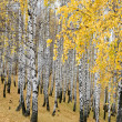 Autumn birch forest — Stock Photo #2775525