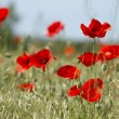 Red poppies on the field — Stock Photo