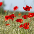 Red poppies on the field — Stock Photo #3189584