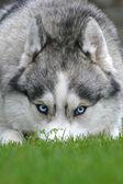 голубые глаза собаки — Стоковое фото