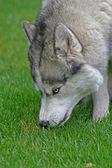 青い目の犬 — ストック写真