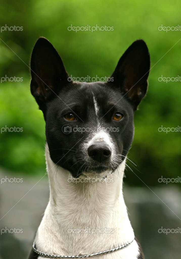 Basenji Dog Breed Information Pictures Characteristics