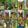 Collage of German Shepherd faces — Stock Photo
