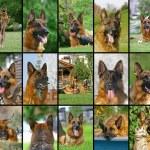 Collage of German Shepherd faces — Stock Photo