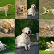 Stock Photo: Labrador and golden retriever