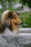 Collie dog — Stock Photo