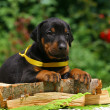 Puppy on wood - Stockfoto