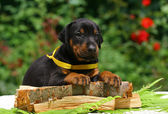 Puppy on wood — Stock Photo