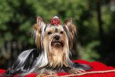 Dog on red carpet — Stock Photo