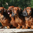 Four red Dachshund dogs sitting together — Stock Photo
