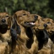 Stock Photo: Four red Dachshund dogs sitting together
