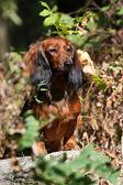 Dog in bush — Stockfoto