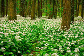 Spring forest with multiple white wild flowers — Stock Photo