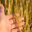 Hand with wheat — Stock Photo