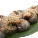 Beetle larva rhinoceros — Stock Photo #3257192