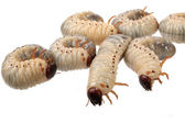 Beetle larva rhinoceros — Stock Photo