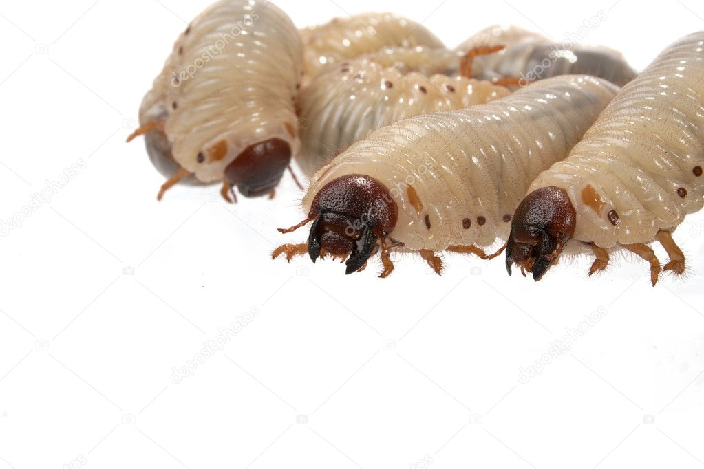 Larva the rhinoceros of the bug on a white background — Stock Photo #3257172