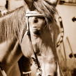 Horse in sepia - Stock Photo