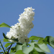 Stock Photo: Branch of the white lilac 2