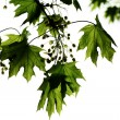 Green crown of a maple tree — Stock Photo