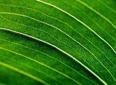アマリリスの緑の葉 — ストック写真