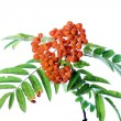 Branch of rowanberry - Stock Photo