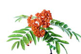 Branch of rowanberry — Stock Photo