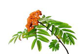 Branch of rowanberry isolated — Stock Photo