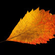Yellow-golden autumn leaf on black — Stock Photo