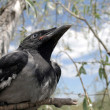 Young crow 3 — Stock Photo