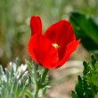 Stock Photo: Red poppy on the meadow 2