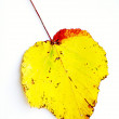Yellow leaf with red edge — Stock Photo