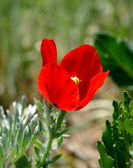 Red poppy on the meadow 2 — Stock Photo