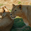 Lioness and lionet — Stock Photo