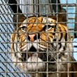 Tiger in cage - Stock Photo