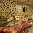 Jaguar eat meat — Stock Photo