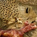 Jaguar eat meat — Stock Photo